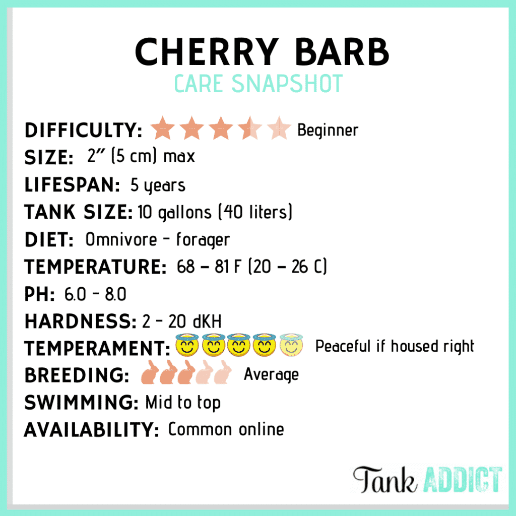 Cherry barb care