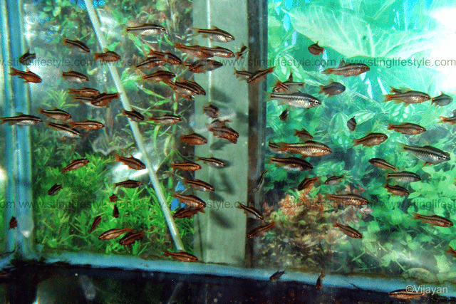 large shoal of cherry barbs