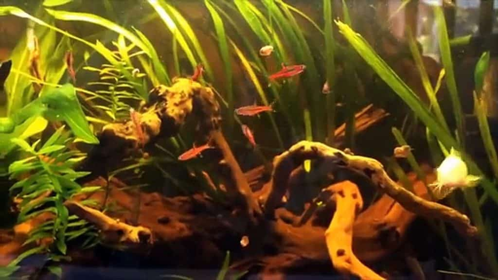 chili rasbora blackwater tank