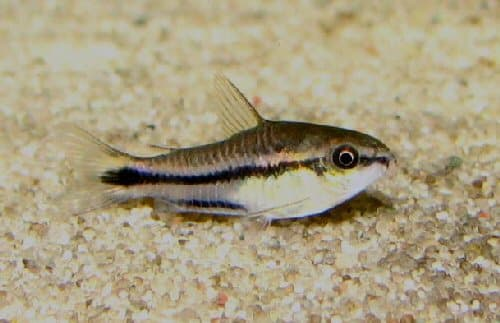 female pygmy cory