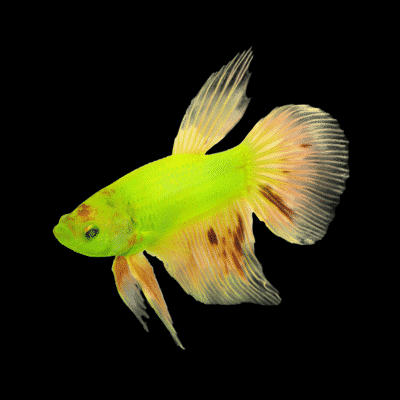 GloFish Hopes To Cash In With New GM Bettas | Tank Addict