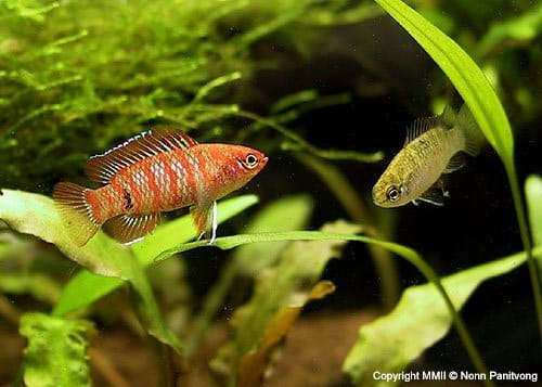 scarlet badis male and female